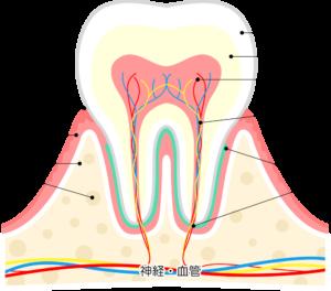 歯が折れた!歯が抜けた!事故や転倒などで歯に損傷を受けた時の状態別の処置と根管治療|歯の構成|根管治療ナビ